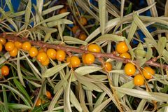 Sea buckthorn berries on a branch royalty free stock images