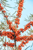 Sea buckthorn berries Stock Images