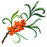 Sea buckthorn berries branch isolated on the white Royalty Free Stock Images