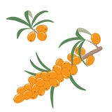 Sea buckthorn berries on a branch with leaves. Vector illustration. Stock Photos