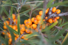 Sea buckthorn berries. Branch  in nature Royalty Free Stock Image