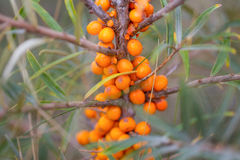 Sea buckthorn berries. Branch  in nature Royalty Free Stock Photography