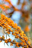 Sea Buckthorn berries Royalty Free Stock Photography