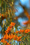 Sea Buckthorn berries Royalty Free Stock Photos