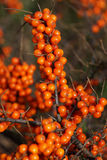 Sea-buckthorn berries on branches Stock Photography