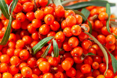 Sea-buckthorn berries Royalty Free Stock Images