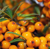 Sea buckthorn berries. (Hippophae rhamnoides) close texture Royalty Free Stock Image