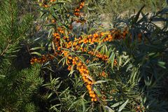 Sea buckthorn berries royalty free stock image