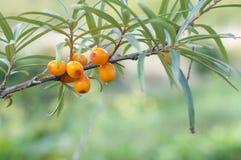 Sea buckthorn berries in a tree Stock Image