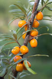 Sea buckthorn berries in a tree Royalty Free Stock Photo