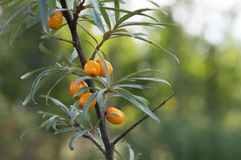 Sea buckthorn berries in a tree Stock Photography
