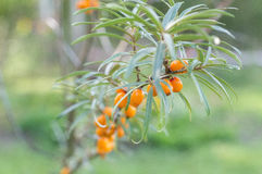 Sea buckthorn berries in a tree Royalty Free Stock Images