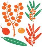Sea-buckthorn berries. Vector illustration (EPS 10 royalty free illustration