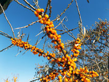 Sea buckthorn Royalty Free Stock Images
