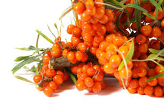 Sea buckthorn on a branch Stock Photos