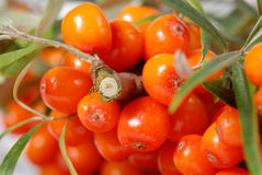 Sea buckthorn on a branch Royalty Free Stock Photos