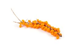 Sea buckthorn branch with berries Stock Image