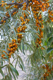 Sea buckthorn Royalty Free Stock Photos