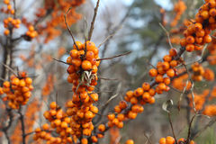 Sea buckthorn branch with berries Royalty Free Stock Images