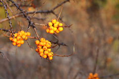 Sea buckthorn branch with berries Stock Photography