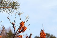 Sea buckthorn branch with berries in the fall Stock Images