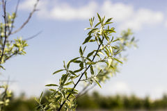 Sea-buckthorn. Branch without berries in the spring Stock Photo