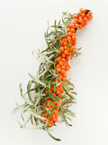 Sea ​​buckthorn Stock Image