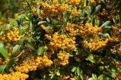 Sea Buckthorn Branch, Close-up (Hippophae Rhamnoides) Royalty Free Stock Photo