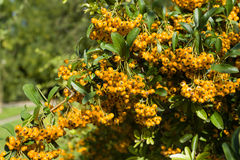 Sea Buckthorn Branch, Close-up (Hippophae Rhamnoides) Royalty Free Stock Image