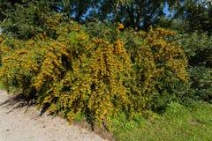Sea Buckthorn Branch, Close-up (Hippophae Rhamnoides) Stock Photo