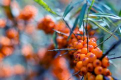 Sea-buckthorn branch. Stock Images