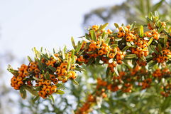Sea buckthorn branch on a table Stock Photography
