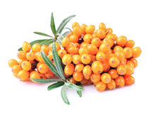 Sea-buckthorn branch Royalty Free Stock Images