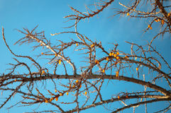 Sea-buckthorn branch in winter. Sea-buckthorn branch on a background of a clear blue sky Stock Photos