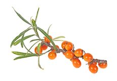 Free Sea Buckthorn Branch With Berries Isolated On White Background. Hippophae Rhamnoides Stock Image - 176662981