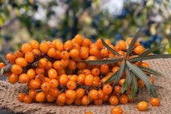 Sea buckthorn branch on a wooden table with blurred garden background Stock Photos