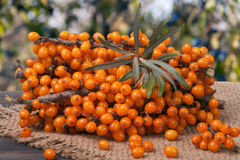 Sea buckthorn branch on a wooden table with blurred garden background Royalty Free Stock Image