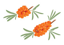 Sea buckthorn branches. Vector illustration of sea buckthorn branches Royalty Free Stock Photo