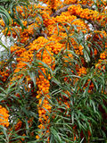 Sea-buckthorn. Bunches of sea-buckthorn berries on the bush Stock Photography