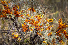 Sea buckthorn bush with berries Stock Photography