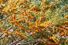 Free Sea Buckthorn Bush With Yellow Berries Hippophae Rhamnoides, Sandthorn, Sallowthorn Or Seaberry. Royalty Free Stock Image - 125084866