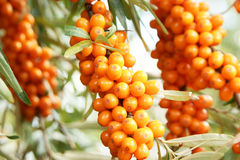 Sea buckthorn close up Royalty Free Stock Images