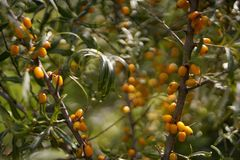 tree branch sea buckthorn orange berries close-up bokeh background sunlight stock photography