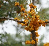 sea buckthorn close-up orange berry tree branch green leaves close-up macro royalty free stock image