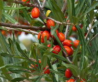 Sea-buckthorn. Royalty Free Stock Photo