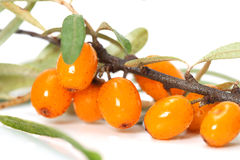Sea-buckthorn closeup Royalty Free Stock Image