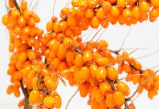 Sea buckthorn, closeup Royalty Free Stock Image