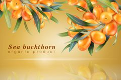 Sea buckthorn. The concept of realistic image of plants and berry  Stock Photos