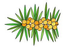 Sea buckthorn, cute medicinal plant. Healthy berry for health and medicine. Graphic image. Vector illustration royalty free illustration