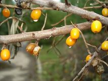 Orange sea buckthorn berries with drops. Cutted off the branches without leaves of sea-buckthorn with berries and drops of water and little insects  -  close Royalty Free Stock Photo
